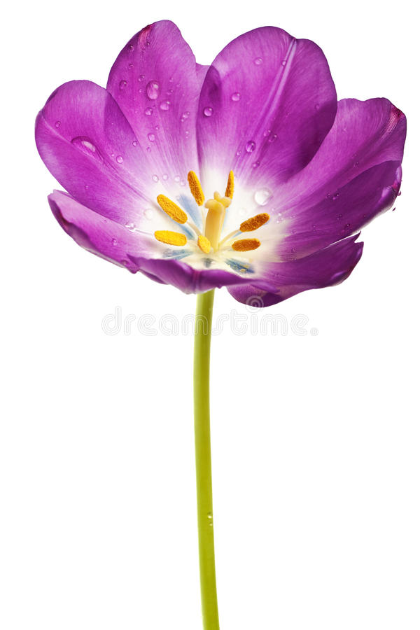 odosobniony purpurowy tulipan obrazy royalty free