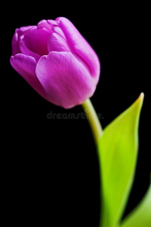 odosobniony purpurowy tulipan zdjęcie royalty free