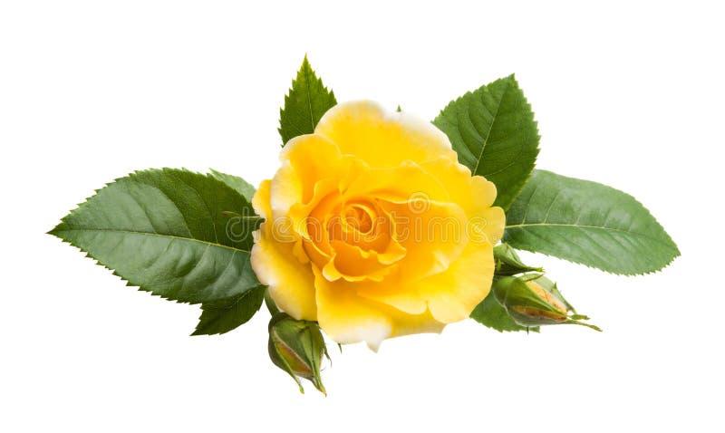 odosobniony różany kolor żółty zdjęcia stock