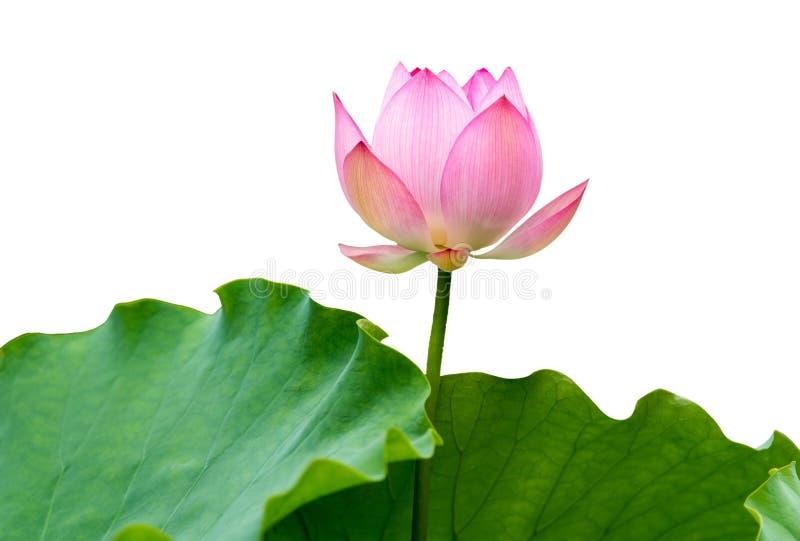 Odosobniony różowy lotos fotografia royalty free