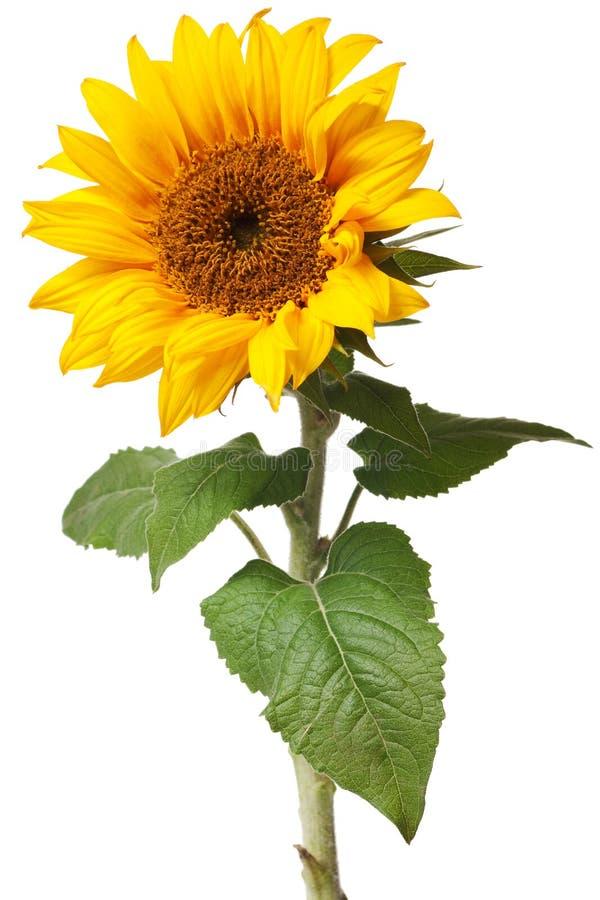 odosobniony słonecznik fotografia stock