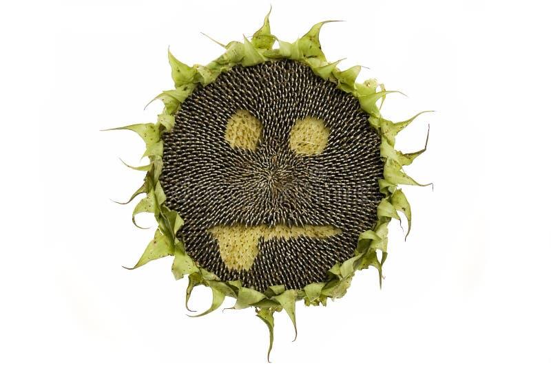 odosobniony słonecznik zdjęcia stock