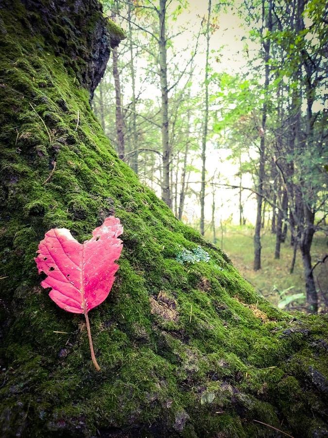 Odosobniony serce kształtujący liść na starym mech zakrywał drzewa zdjęcie royalty free