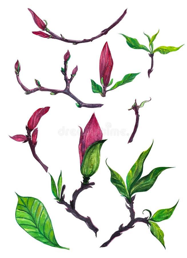 Odosobniony set magnoliowi pączki royalty ilustracja