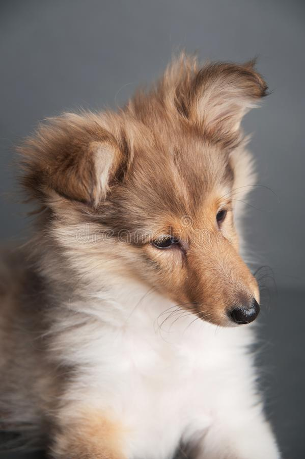 Odosobniony Shetland sheepdog szczeniak w pracownianym, ślicznym portrecie sheltie szczeniak, fotografia royalty free