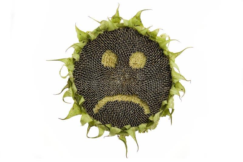 odosobniony smutny słonecznik obraz stock