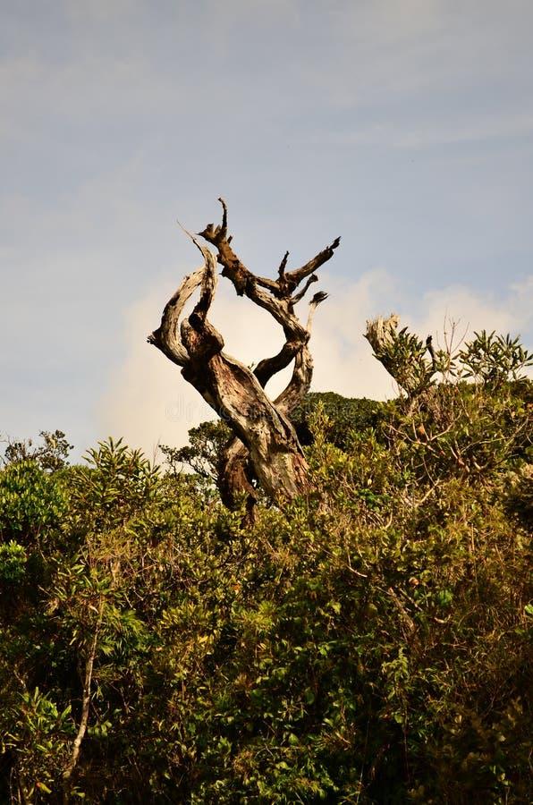 Odosobniony stary drzewo w Horton równinach obraz stock