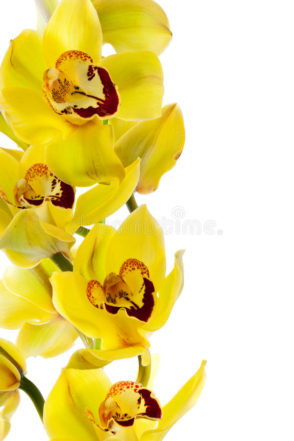 odosobniony storczykowy kolor żółty zdjęcie stock