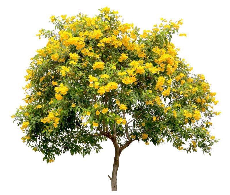 Odosobniony tecoma stans drzewo złota żółta tubowego winogradu kwiatu okwitnięcia krzaka próbka na białym tle, zdjęcie royalty free