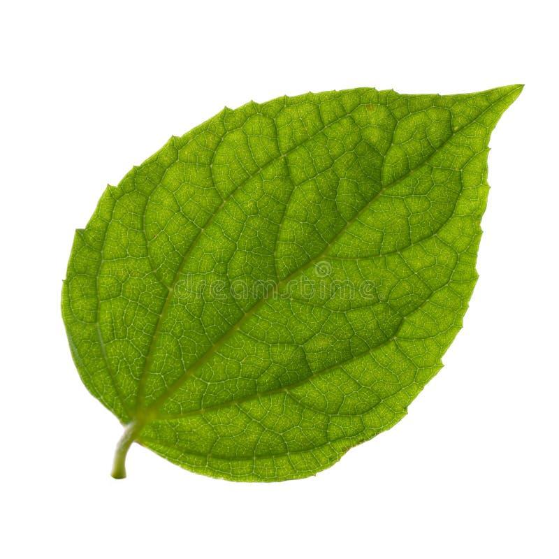 Odosobniony zielony liść obrazy stock