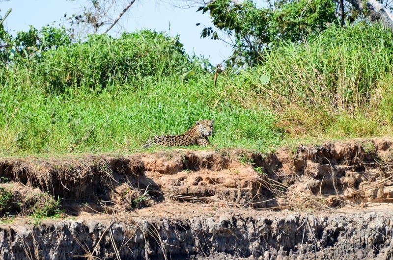 odpocząć jaguara fotografia royalty free