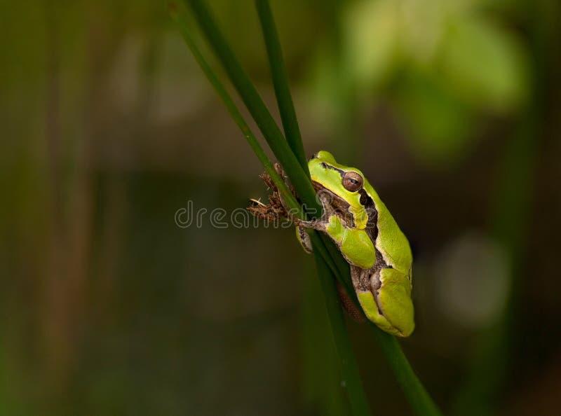 Odpoczynkowa europejska drzewna żaba z zielonym tłem, republika czech obrazy royalty free