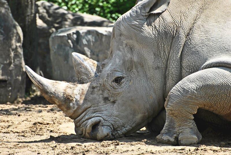 odpoczynkowa nosorożec obraz stock