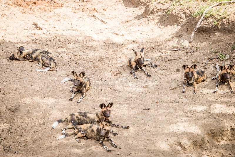Odpoczynkowi Afrykańscy dzicy psy w Kruger parku narodowym, Południowy Afr zdjęcie royalty free