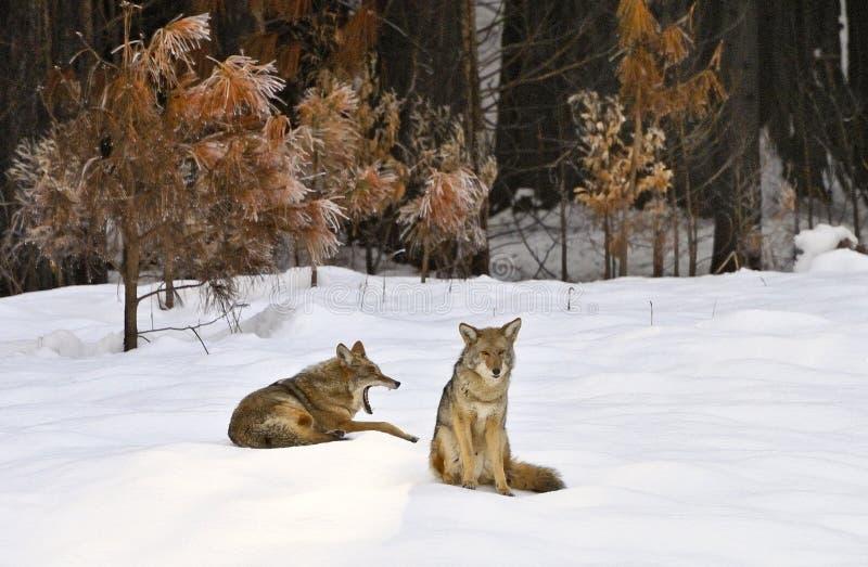 Odpoczynkowi dzicy kojoty w śniegu, Yosemite dolina, Yosemite park narodowy fotografia stock