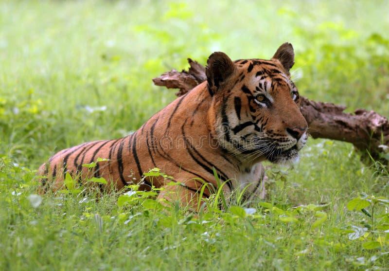 odpoczynkowy Bengal tygrys fotografia stock