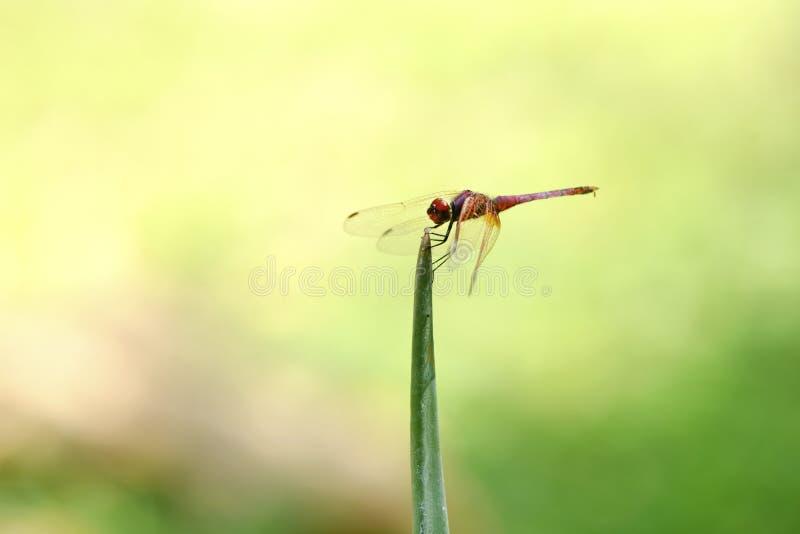 Odpoczynkowy Dragonfly fotografia stock