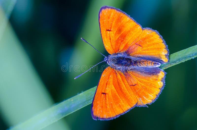 Odpoczynkowy motyl zdjęcie stock