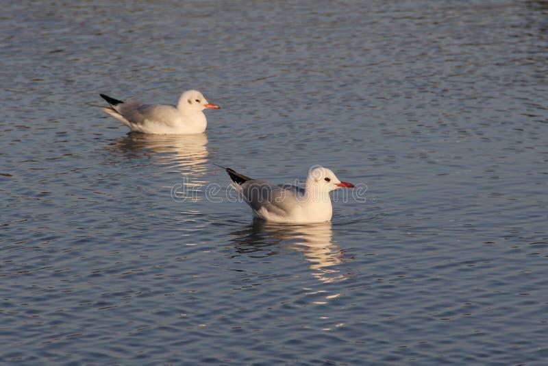 Odpoczynkowy seagull fotografia royalty free