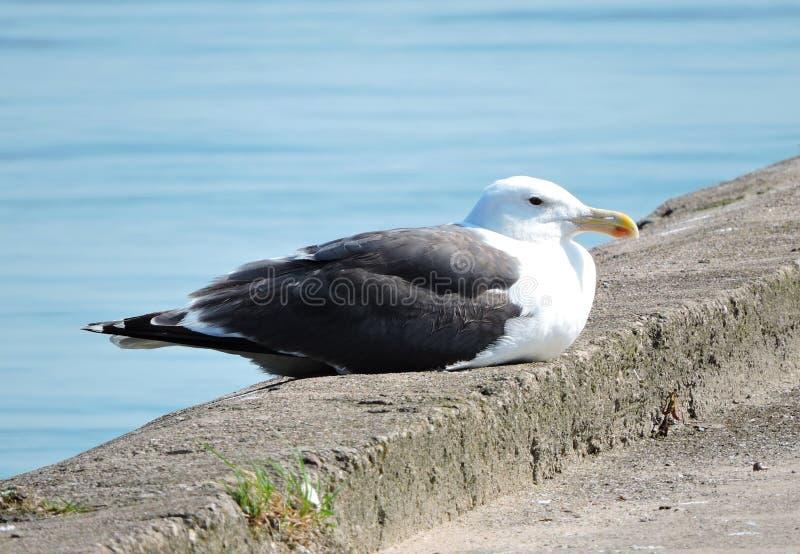 Odpoczynkowy seagull obrazy royalty free