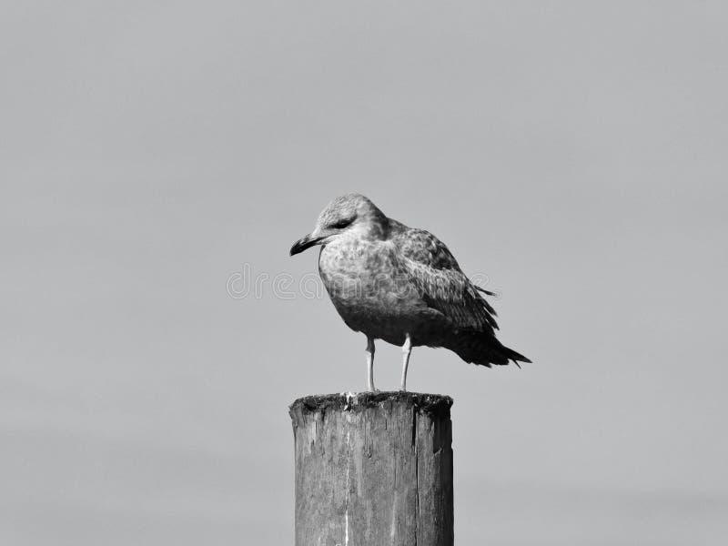 Odpoczynkowy Seagull w Czarnym & Białym zdjęcie royalty free
