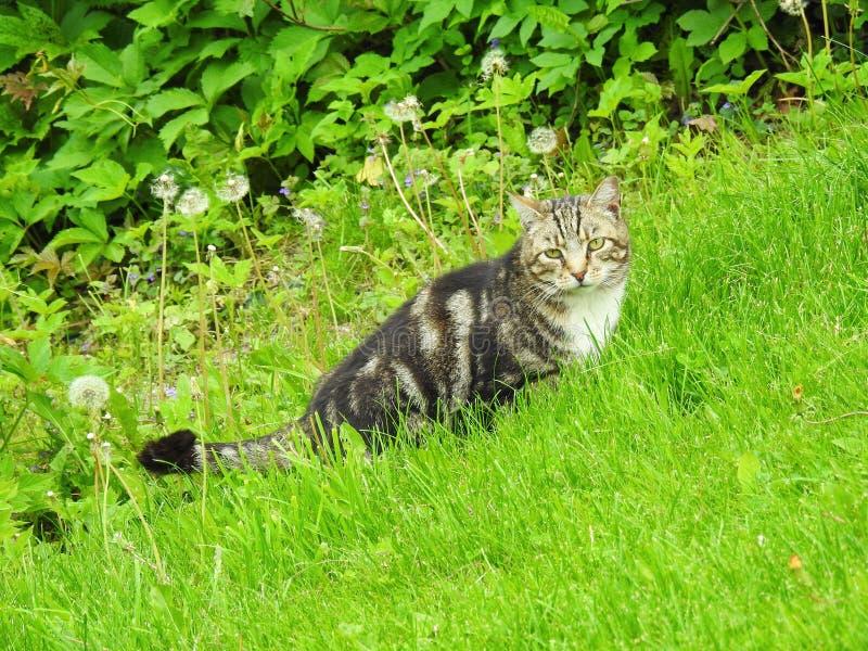 Odpoczynkowy Tabby kot zdjęcie royalty free