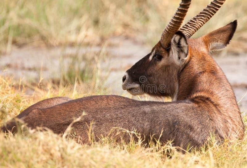 odpoczynkowy waterbuck zdjęcia royalty free