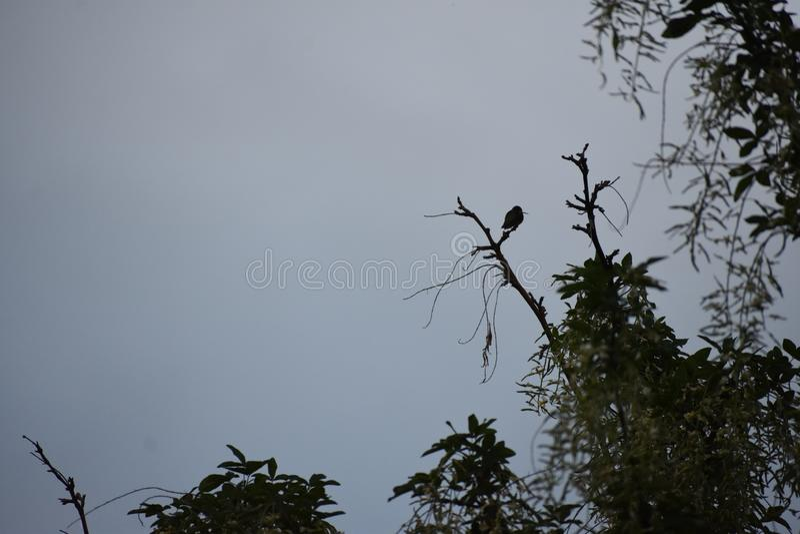 Odpoczywać Nucący ptaka w wierzchołku drzewo zdjęcie royalty free