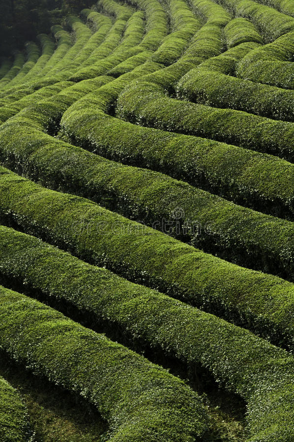 odpowiada zielonej herbaty obraz royalty free