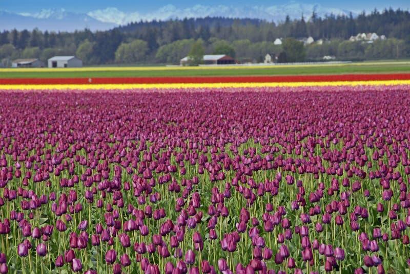 odpowiedz tulipanu obrazy royalty free