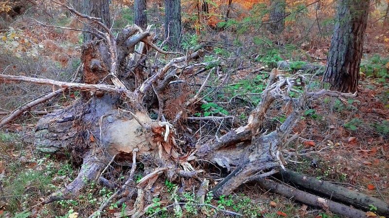 Odrewniała karpa Nieżywy drzewny jesień krajobraz obrazy royalty free