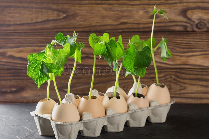 Odrośnięci krótkopędy rośliny w eggshell na drewnianym tle Jajka wewnątrz przetwarzają Kraft pakunek fotografia royalty free