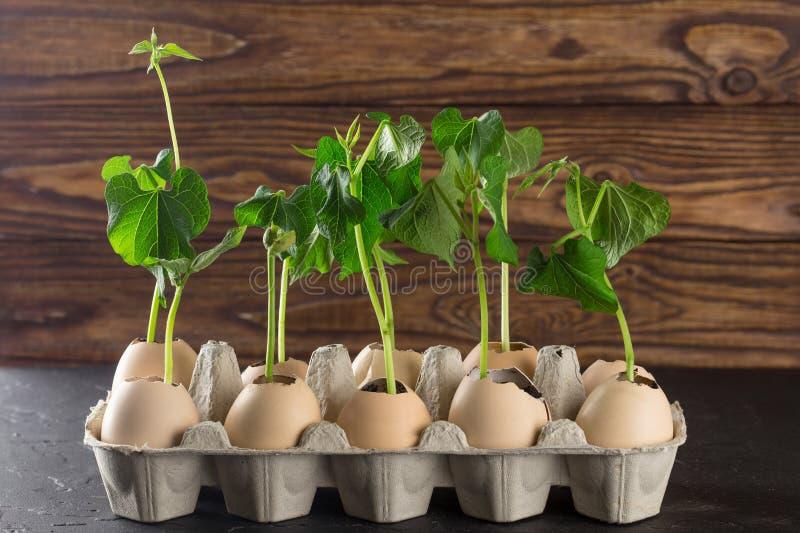 Odrośnięci krótkopędy rośliny w eggshell na drewnianym tle Jajka wewnątrz przetwarzają Kraft pakunek zdjęcie stock