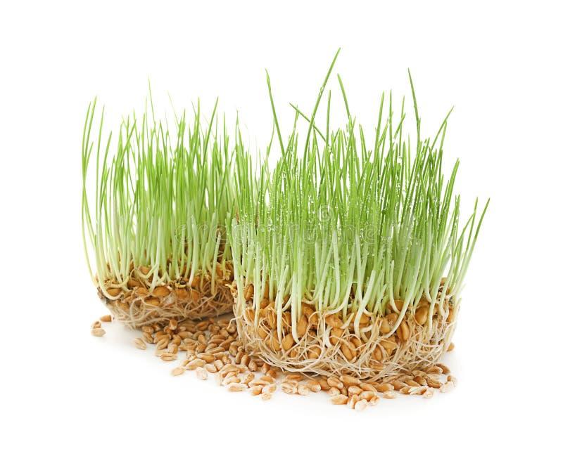 Odrośnięta pszeniczna trawa na białym tle obrazy stock