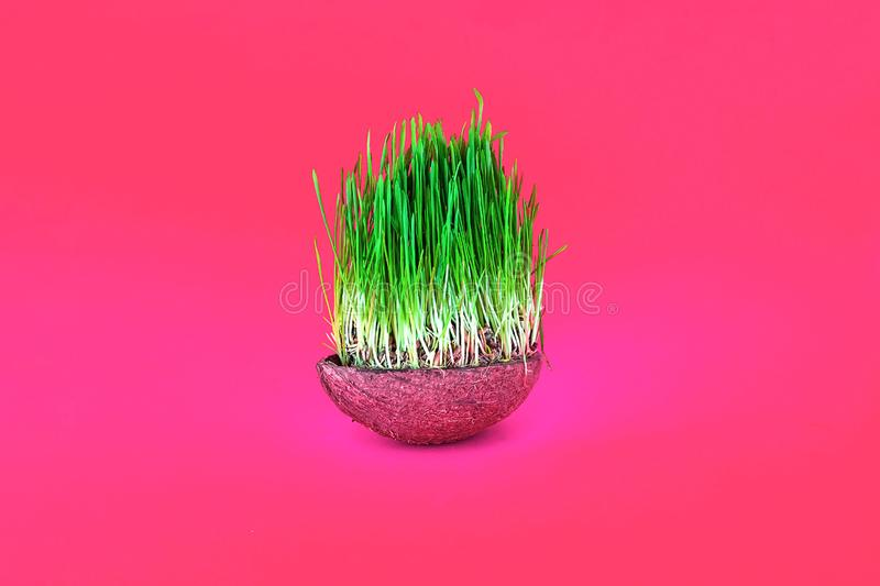 Odrośnięta ziarno banatka lub zielona trawa w kokosowym pucharze odizolowywającym na koralowym tle fotografia royalty free