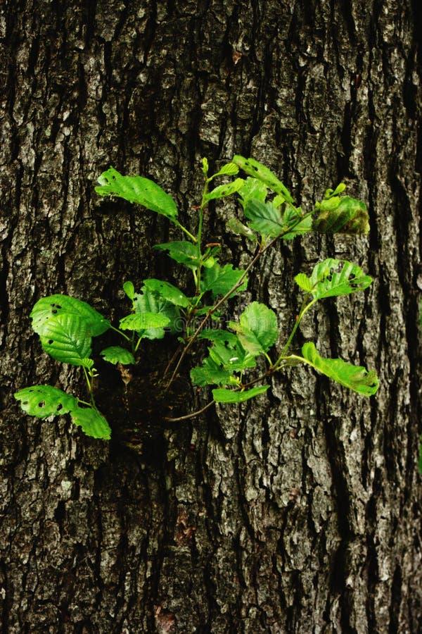 Odrodzony drzewo w drzewie obraz stock