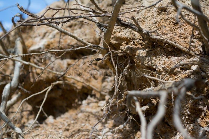 Odsłonięci korzenie drzewa i rośliny aftter wykorzeniać zdjęcie stock