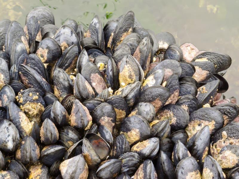 odsłoniętych niskich mussels rockowy przypływ obrazy royalty free