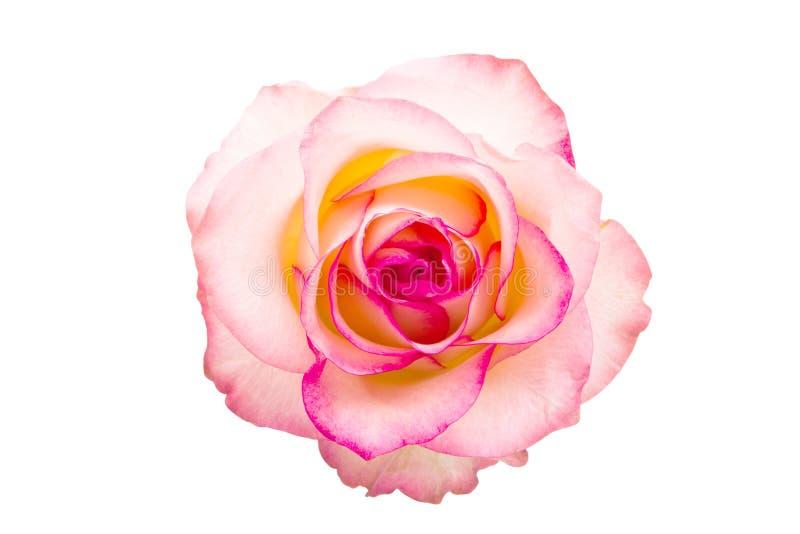 odseparowana różową różę obraz stock