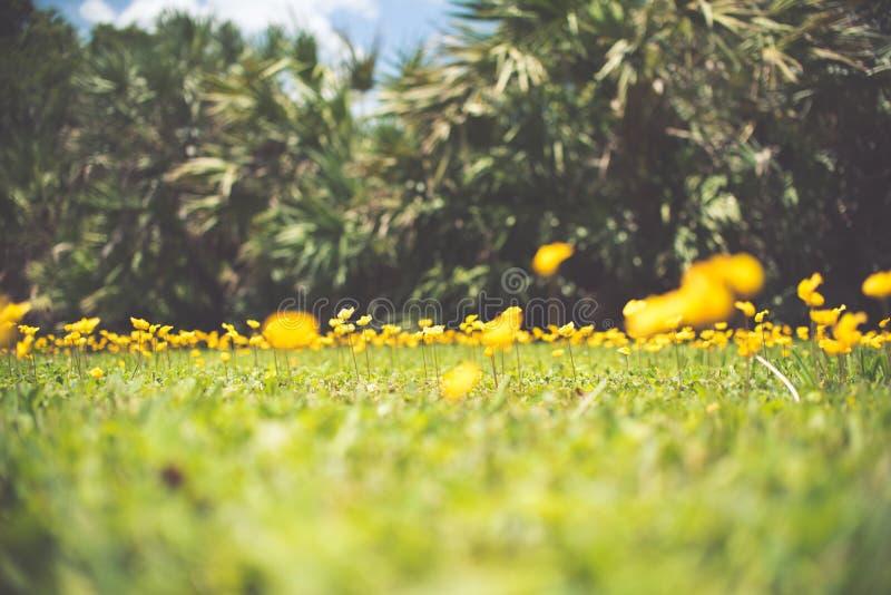 Odwiecznie arachidu Arachis pintoi także żółty kwiat fotografia stock