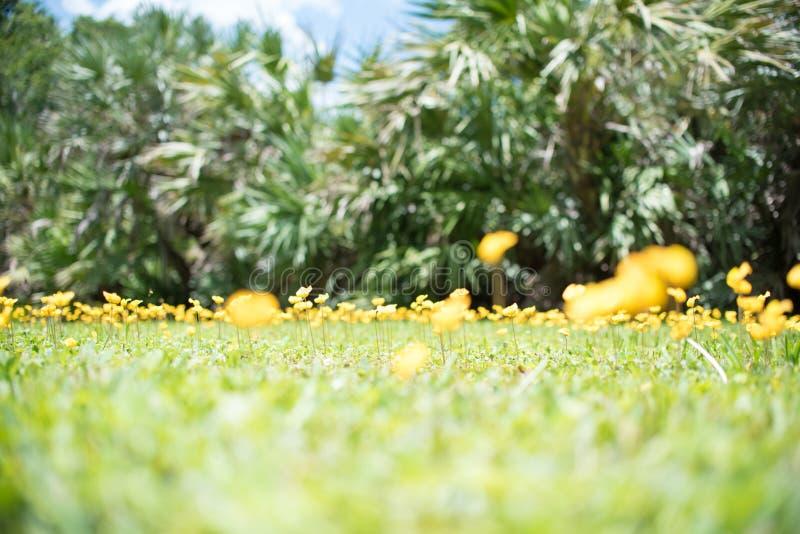 Odwiecznie arachidu Arachis pintoi także żółty kwiat obrazy royalty free