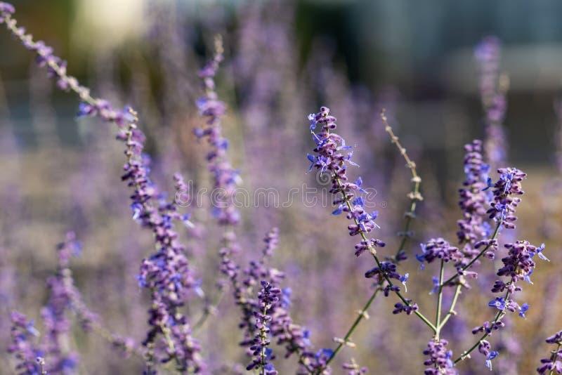 Odwiecznie mędrzec kwiaty obrazy royalty free