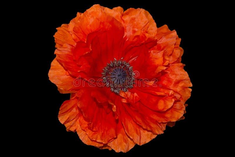 Odwiecznie orientalny ornamentacyjny maczek - popularna roślina która r w ogródach i parkach fotografia royalty free