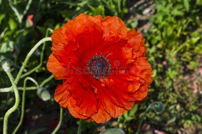 Odwiecznie orientalny ornamentacyjny maczek - popularna roślina która r w ogródach i parkach obrazy royalty free