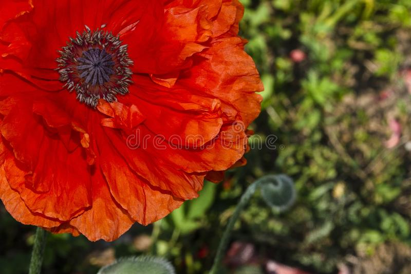 Odwiecznie orientalny ornamentacyjny maczek - popularna roślina która r w ogródach i parkach zdjęcie royalty free