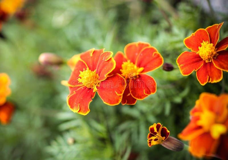 Odwiecznie roślina, nagietki zdjęcia royalty free