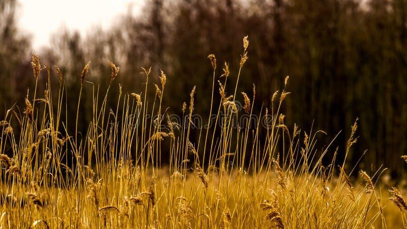 Odwiecznie trawa pióropusze w ładnym ciepłym kolorze żółtym barwią zdjęcia stock