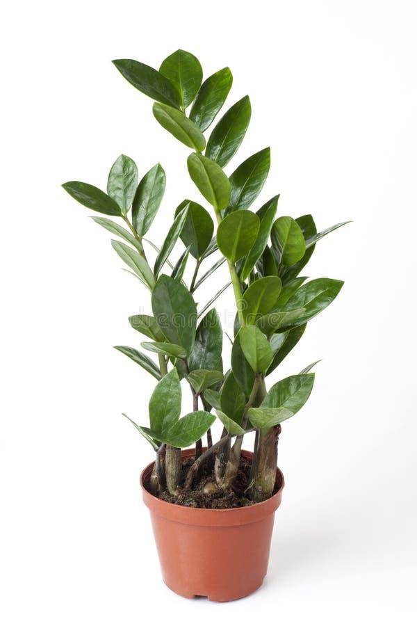 zamioculcas zamiifolia zdjęcia royalty free