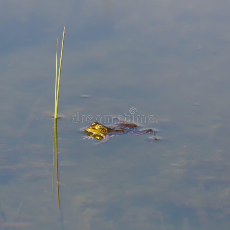 Odzwierciedlający zielonej żaby rana dopłynięcie w wodzie, trzcinowy badyl zdjęcie stock