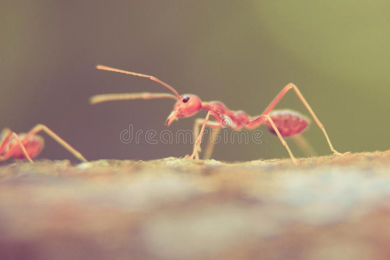 Oecophylla smaragdina. (common names include weaver ant, green ant, green tree ant, and orange gaster) is a species of arboreal ant found in Asia and Australia royalty free stock image